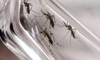 Parceria tem como meta desenvolver vacina contra doença, que tem o mosquito aedes aegypti como principal vetor Foto: Divulgação / Fiocruz