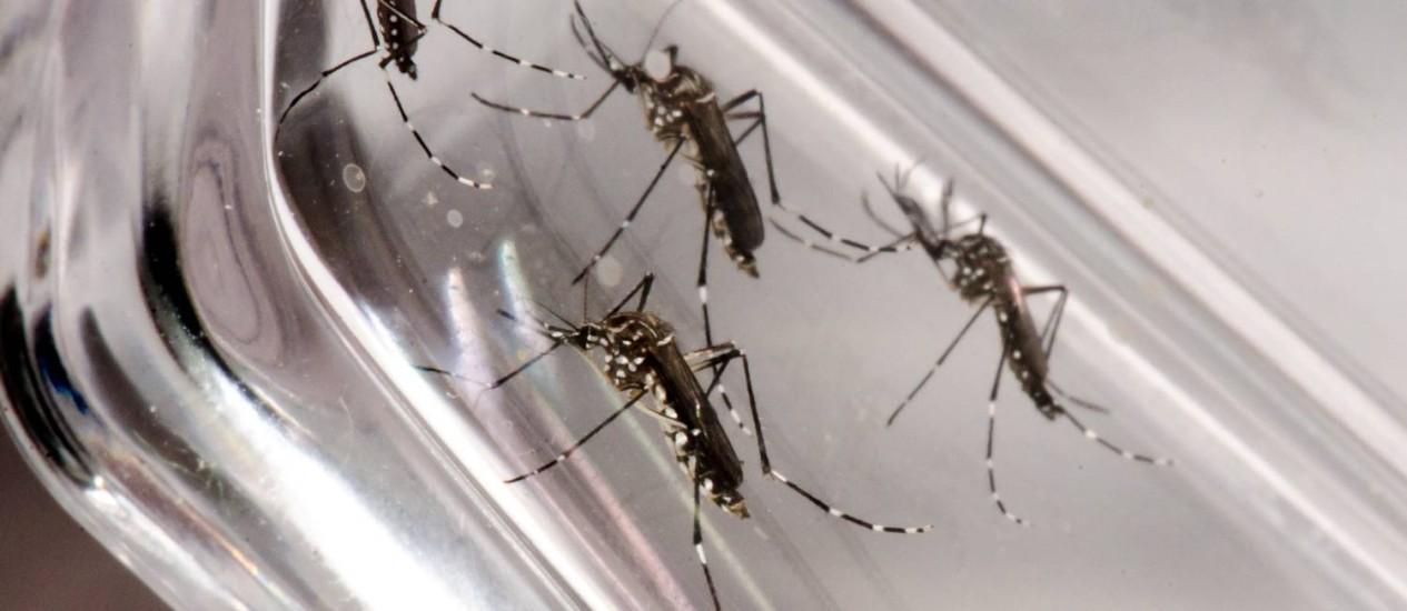 O mosquito Aedes aegypti Foto: Divulgação / Fiocruz
