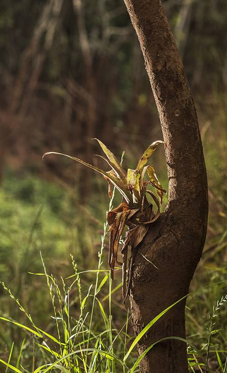 Uma bromélia - planta que costuma viver no alto das árvores para captar luz - sobrevive ao rés-do-chão agarrada a sua árvore Foto: Ana Branco / Agencia O Globo