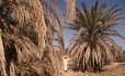 Homem passa por palmeiras mortas no oásis de Tafilalet, no Marrocos, que sediará a 22ª Conferência do Clima a partir da semana que vem: quanto maior a alta na temperatura média global, mais graves serão os efeitos no clima