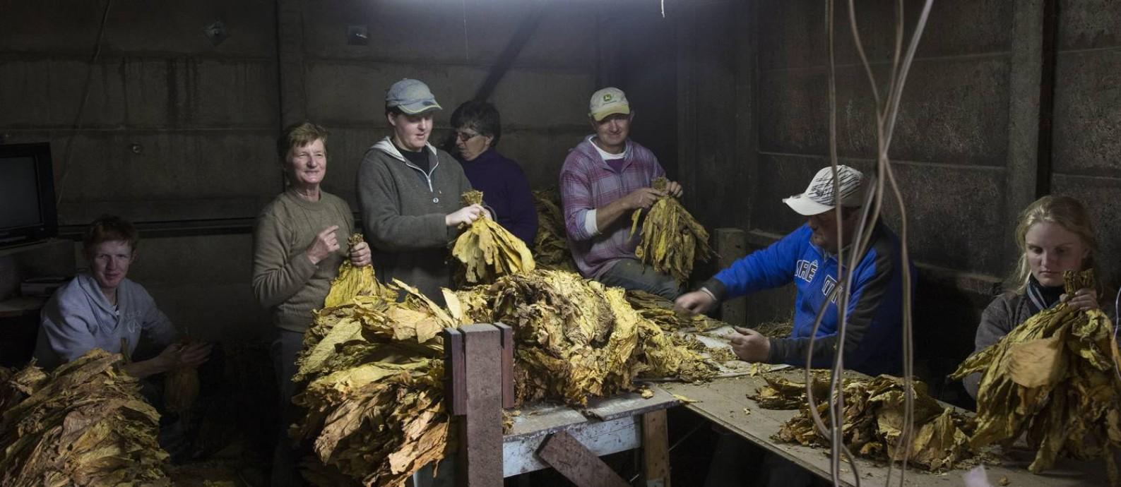 Uma família de agricultores trabalha na seleção e classificação das folhas de fumo, no Rio Grande do Sul Foto: ANTONIO SCORZA / Agência O Globo