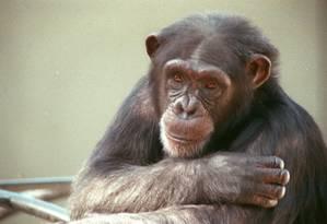 A interface cérebro-coluna teve sucesso quando testada em primata com lesão parcial na medula Foto: Marco Antônio Teixeira / Agência O Globo/09.06.1993