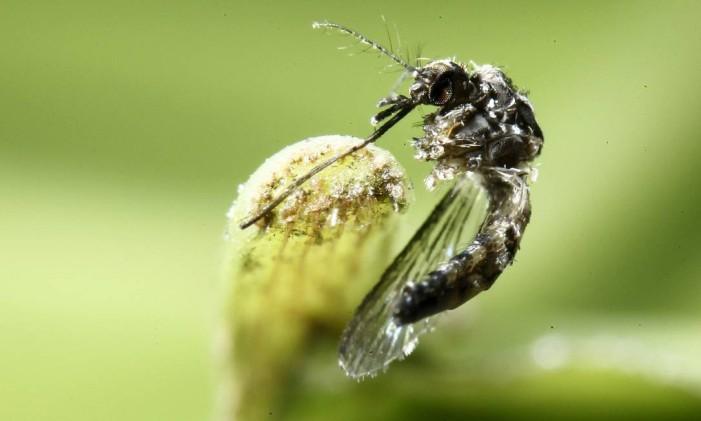 Mosquito Aedes aegypti em uma folha Foto: Juan Carlos Ulate / Reuters