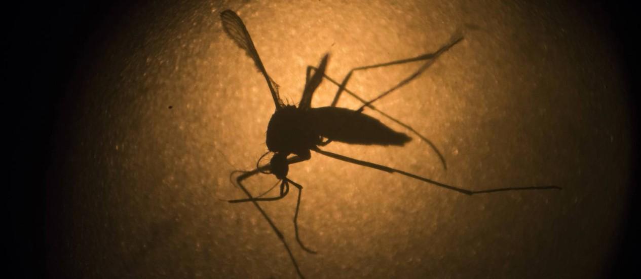 Mosquito Aedes aegypti, conhecido por ser hospedeiro do vírus da zika Foto: Felipe Dana / AP