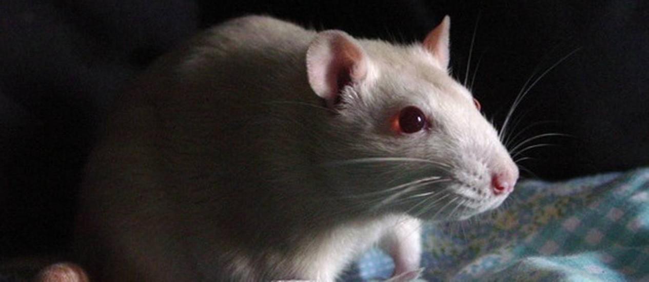 Ratos receberam injeção de vírus quando tinham três semanas de vida Foto: Free Images