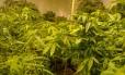 Pés de maconha: substâncias contidas na planta estão sendo usadas principalmente no tratamento de crianças com epilepsia refratária a remédios convencionais
