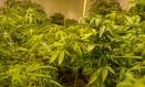 Pés de maconha: substâncias contidas na planta estão sendo usadas principalmente no tratamento de crianças com epilepsia refratária a remédios convencionais Foto: Matias Maxx