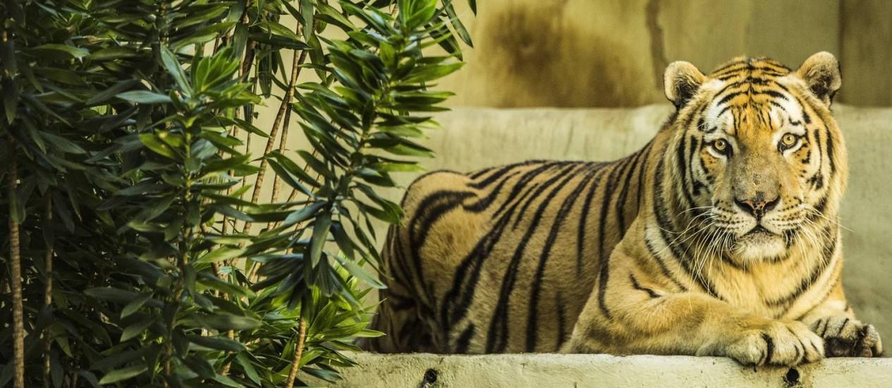 O tigre siberiano Neto, um dos animais do zoológico do Rio Foto: Ana Branco - 20/03/2016 / Agência O Globo