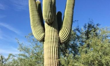 Saguaro. A espécie, que pode passas dos 15m de altura, só chega à fase adulta com 75 anos Foto: Henrique Gomes Batista