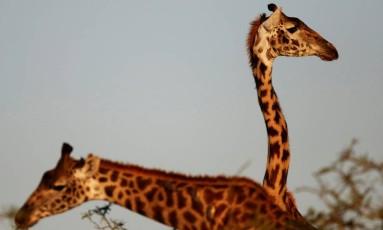 Girafas na Reserva Nacional de Masai Mara, no Quênia Foto: GORAN TOMASEVIC / REUTERS
