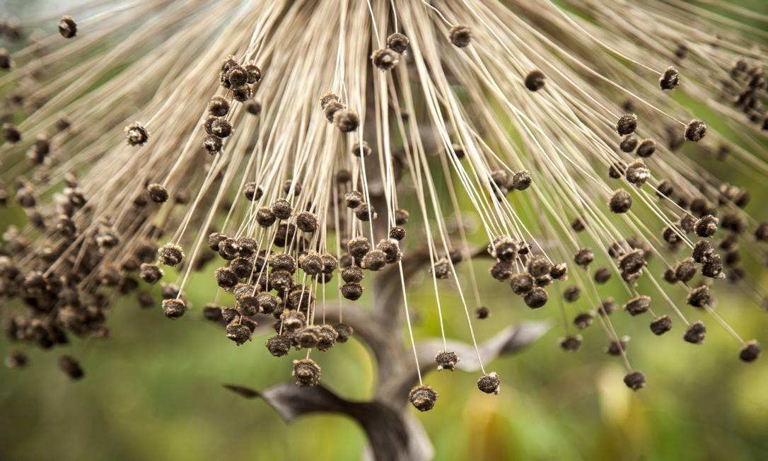 O chuveirinho, flor típica do Cerrado, perde a coloração branca no final do ano Hermes de Paula / Agência O Globo