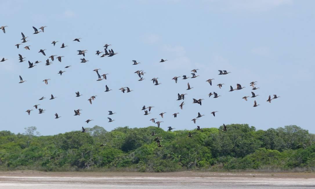 Revoada de marrecas em Jurubatiba, um dos melhores pontos de observação de aves no litoral brasileiro Foto: Divulgação