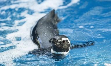 Pinguim nada em viveiro no zoo Foto: Ana Branco / Agência O Globo