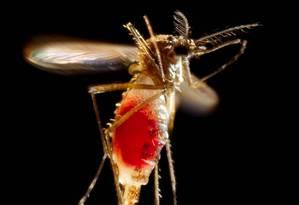 Fêmea de Aedes aegypti. Vírus transmitido pelo mosquito ataca o sistema nervoso das vítimas Foto: Reuters