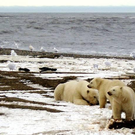 Os ursos polares dependem das plataformas de gelo flutuante que estão desaparecendo Foto: U.S. Fish and Wildlife Service / REUTERS