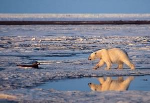 Urso polar caminha sobre região com sinais de degelo, no Alasca Foto: SUBHANKAR BANERJEE / AP
