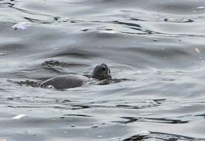 Ilustres. Tartaruga chama a atenção na Praia da Boa Viagem: segundo bióloga, espécie é resistente à poluição Foto: Thiago Freitas / Thiago Freitas