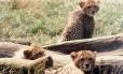Tráfico de guepardos preocupa ambientalistas