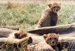 Tráfico de guepardos preocupa ambientalistas Foto: Free Images