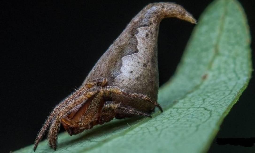 """Uma nova espécie de aranha, a Eriovixia gryffindori, ganhou este nome em homenagem ao Chapéu Seletor, presente na saga de """"Harry Potter""""; o registro fez parte de estudo publicado no periódico """"Indian Journal of Arachnology"""" Divulgação / SUMUKHA J. N"""