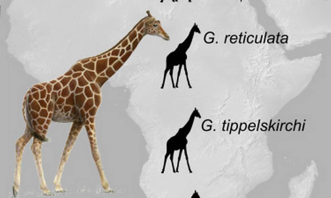 """Autores de um estudo publicado na revista """"Cell"""", cientistas especialistas em genética defenderam que as girafas na verdade podem ser divididas em quatro espécies"""