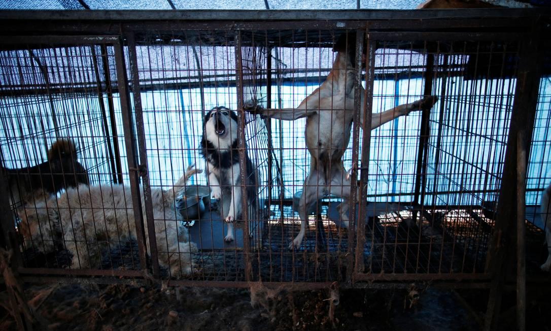 Fazendas que criam cachorros costumam oferecer condições degradantes para os animais KIM HONG-JI / REUTERS