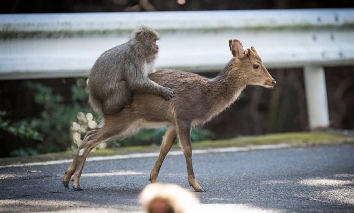 Macaco é flagrado transando com veado e intriga cientistas no Japão