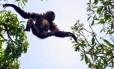 Pesquisadores descobriram uma nova espécie de Gibão em província na China