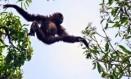 Pesquisadores descobriram uma nova espécie de Gibão em província na China Foto: REPRODUÇÃO/American Journal of Primatology
