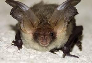 Morcegos são vistos até durante o dia, o que é incomum, porque atividade dos animais é noturna Foto: Free Images