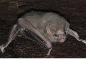O morcego hematófago Diphylla ecaudata passou a se alimentar de sangue humano Foto: Eder Barbier