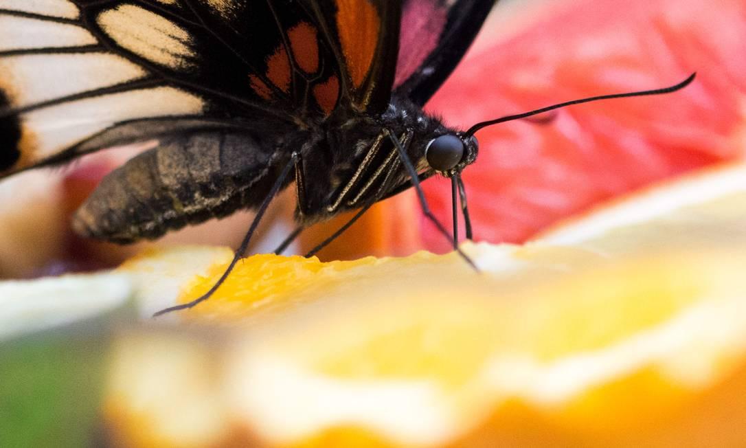 Borboleta de monarca no parque de Elbauenpark em Magdeburg, Alemanha KLAUS-DIETMAR GABBERT / AFP