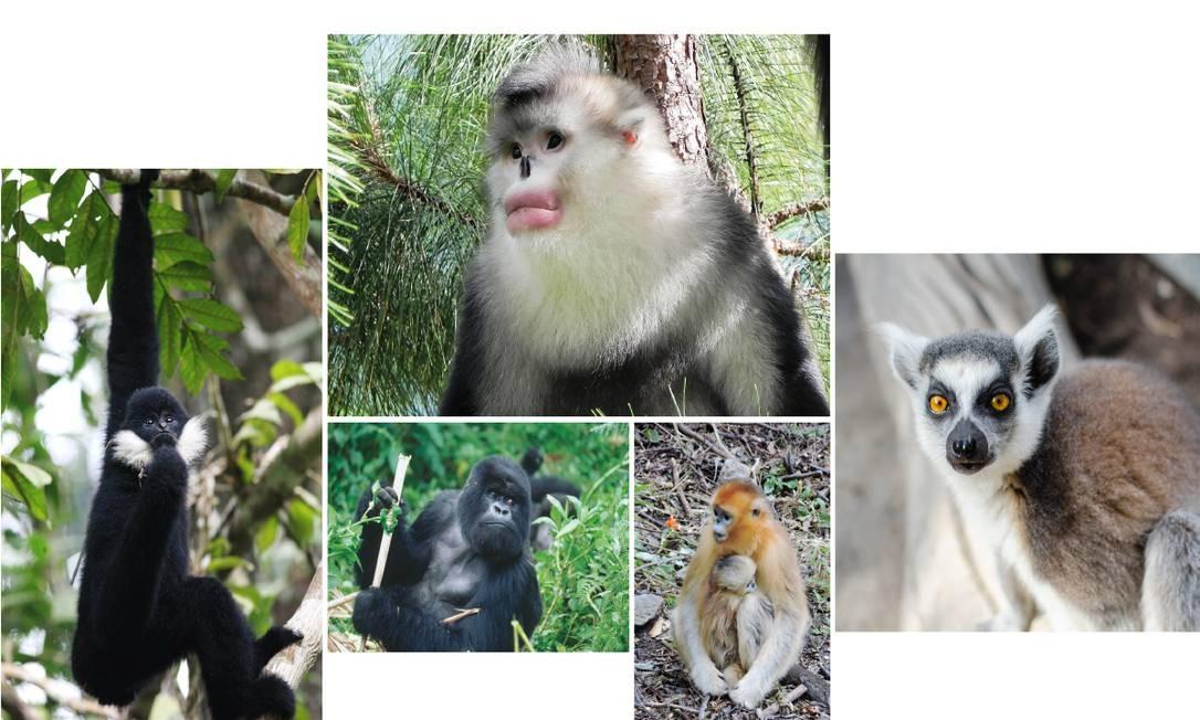 Imagens de algumas das espécies de primatas sob maior risco atualmente; de cima para baixo, no sentido do relógio: o macaco-de-nariz-arrebitado-de-Yunnan, o lêmure-de-cauda-anelada, o macaco-dourado, o gorila das montanhas e o gibão-de-bochechas-brancas Foto: Paul Garber/Matthias Appel/Ruggiero Richard/Fan Peng-Fei
