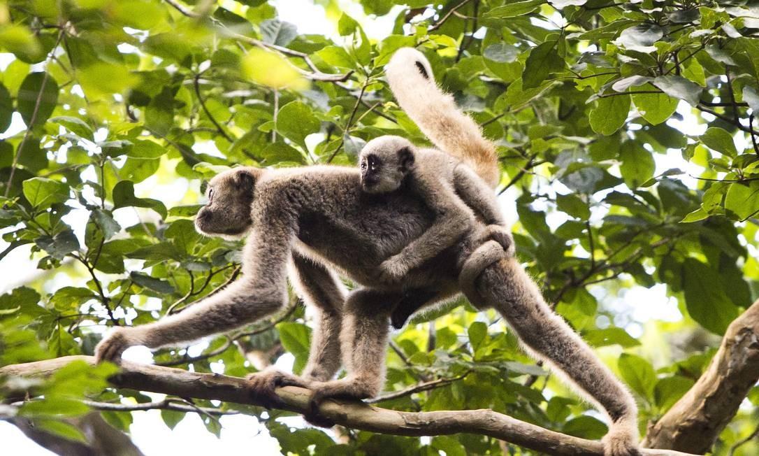 A Reserva Mata Feliciano, onde habitam macacos muriquis, em Santo Antônio do Manhuaçu, em Caratinga Foto: Mônica Imbuzeiro / O GLOBO