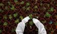 Trabalhador em uma plantação de maconha medicinal no norte de Israel