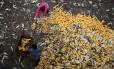 Agricultores coletam milho na China; praga, que tem o milho como cultura vulnerável, poderá chegar à Ásia
