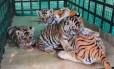 Os filhotes de tigre com o boneco de pelúcia