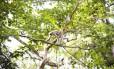 O muriqui-do-norte: uma fêmea e seu filhote são avistados na RPPN Feliciano Abdala, em Caratinga