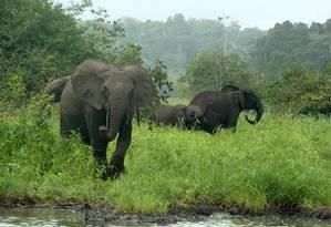 Um pequeno grupo de elefantes no Parque Nacional de Minkébé, no Gabão Foto: John Poulsen, Duke University