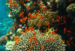 Peixes entre corais em Abrolhos: ecossistema sob risco Foto: Divulgação