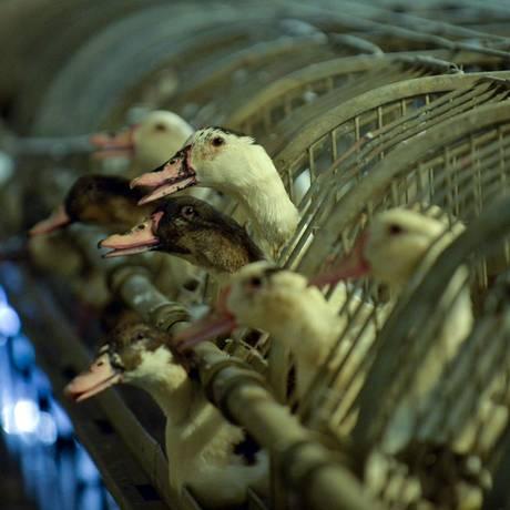 Foto mostra patos em fazenda em Caupenne, no sudoeste da França Foto: GAIZKA IROZ / AFP