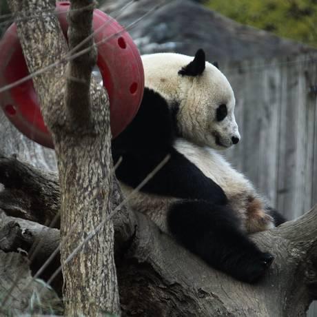 Bao Bao passou a manhã em seu habitat no National Zoo, de Washington Foto: ALEX WONG / AFP