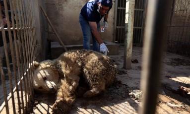 O veterinário Amir Khalil avalia o urso sobrevivente em zoológico abandonado em Mosul Foto: SAFIN HAMED / AFP