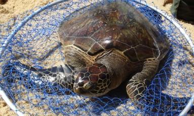 A Tartaruga Verde está na lista de animais ameaçados de extinção desde 2014 Foto: SEA / Divulgação