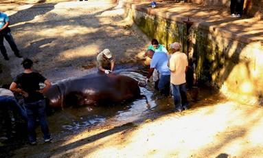 Veterinários e biólogos tentaram salvar a vida de Gustavito Foto: Secretaria de Cultura de El Salvador