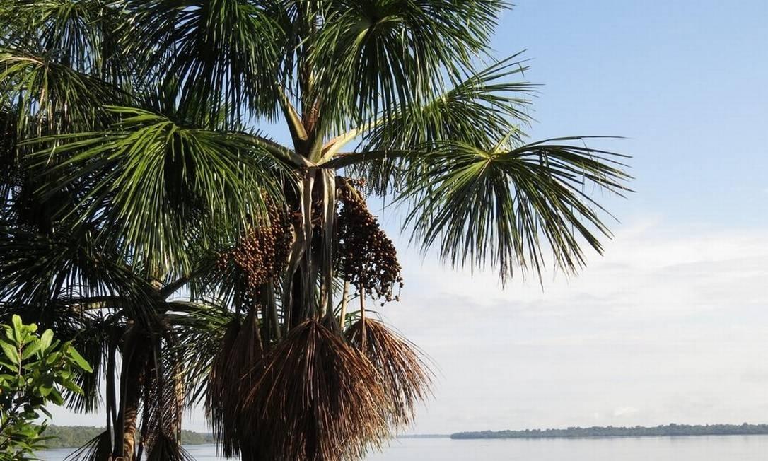 Exemplares de buriti ('Mauritia flexuosa') às margens do Rio Negro: espécie 'hiperdominante' é uma das árvores que foram domesticadas e espalhadas pela floresta pelos humanos Foto: / Hans ter Steege