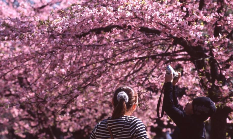 Originária da Ásia, a florada das cerejeiras se tornou uma das principais atrações turísticas do Japão, que está repleto das árvores de flores rosas em suas ruas e parques. A época da florada varia de acordo com a espécie e o local onde ela está. Em Tóquio (foto de 2016) ela está prevista para o fim de março. Foto: Divulgação
