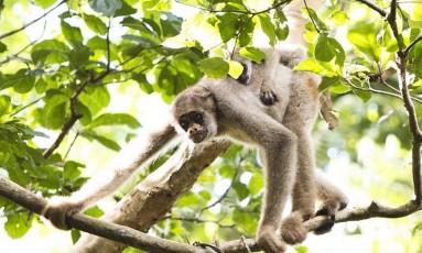 Macacos Foto: Reprodução