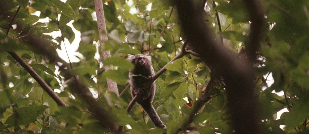 Entre os primatas encontrados mortos na capital fluminense, há quatro micos Foto: Edivaldo Ferreira / Agência O Globo