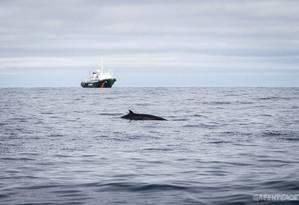 Uma baleia minke observada pelo navio do Greenpeace Esperanza Foto: Nick Cobbing / Greenpeace